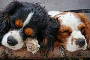 Come guarire dall'insonnia da touch screen? Prova con il cerume di cane spalmato sui denti