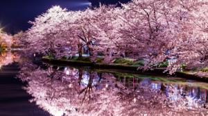 Sono Giapponese! Lesson 62. Fioritura ciliegi Giappone 2019: tutto quello che devi sapere sulla Sakura