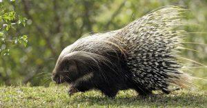 Memorie di un porcospino: ogni uomo ha un doppio nel mondo animale